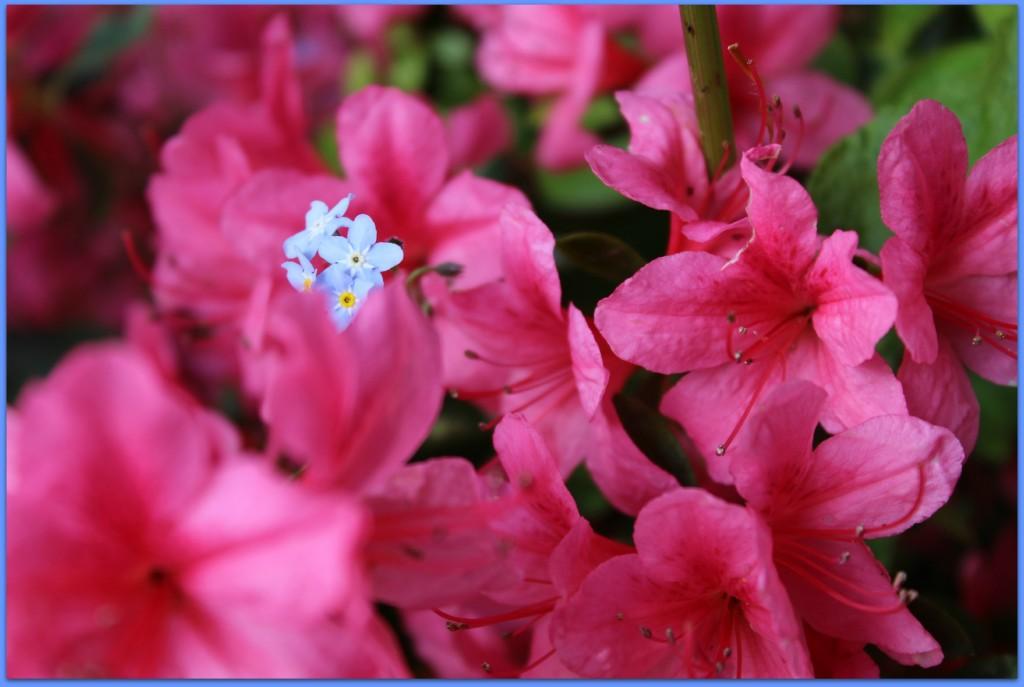 forgetmenots flowers blue pink