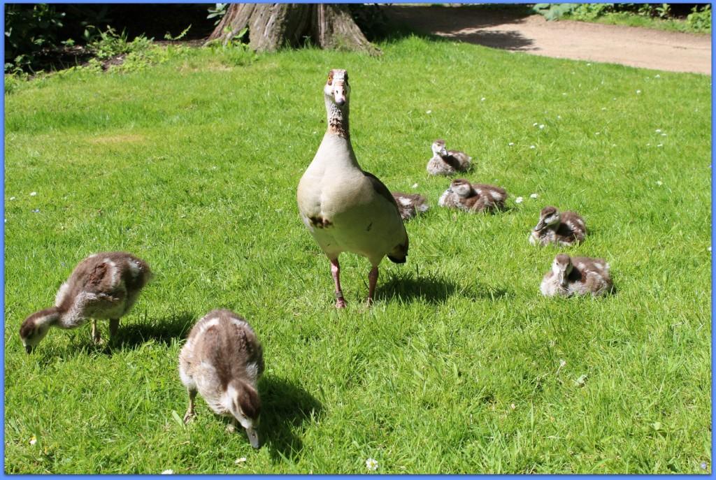 scandimummy_geese
