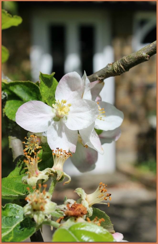 Apple tree in blossom this Spring