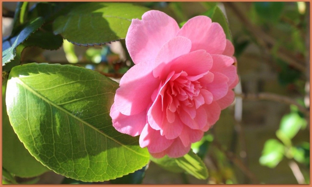 A beautiful pink camellia from the garden.