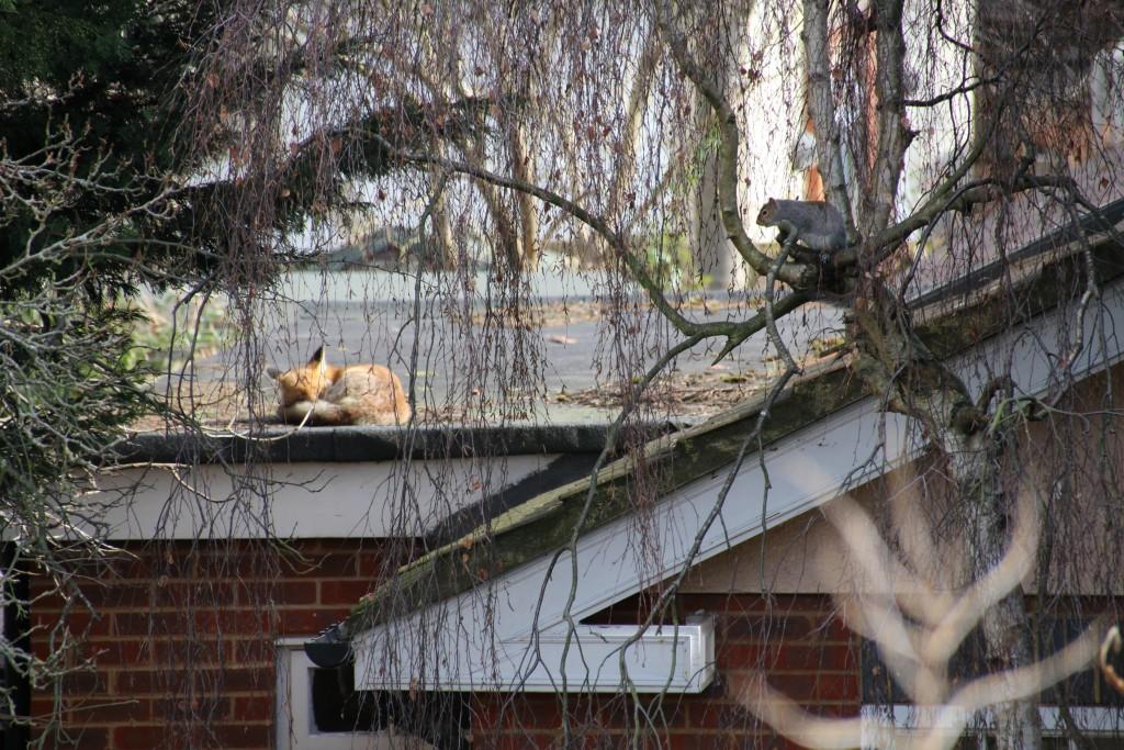 A cute fox having a rest while a squirrel keeps an eye on him