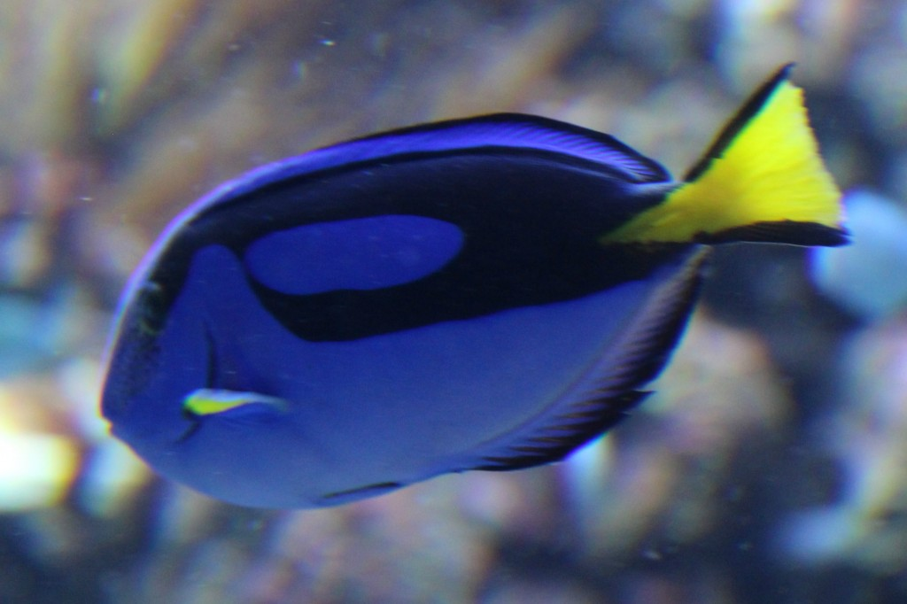 We spotted Dory from Finding Nemo at the Aquarium