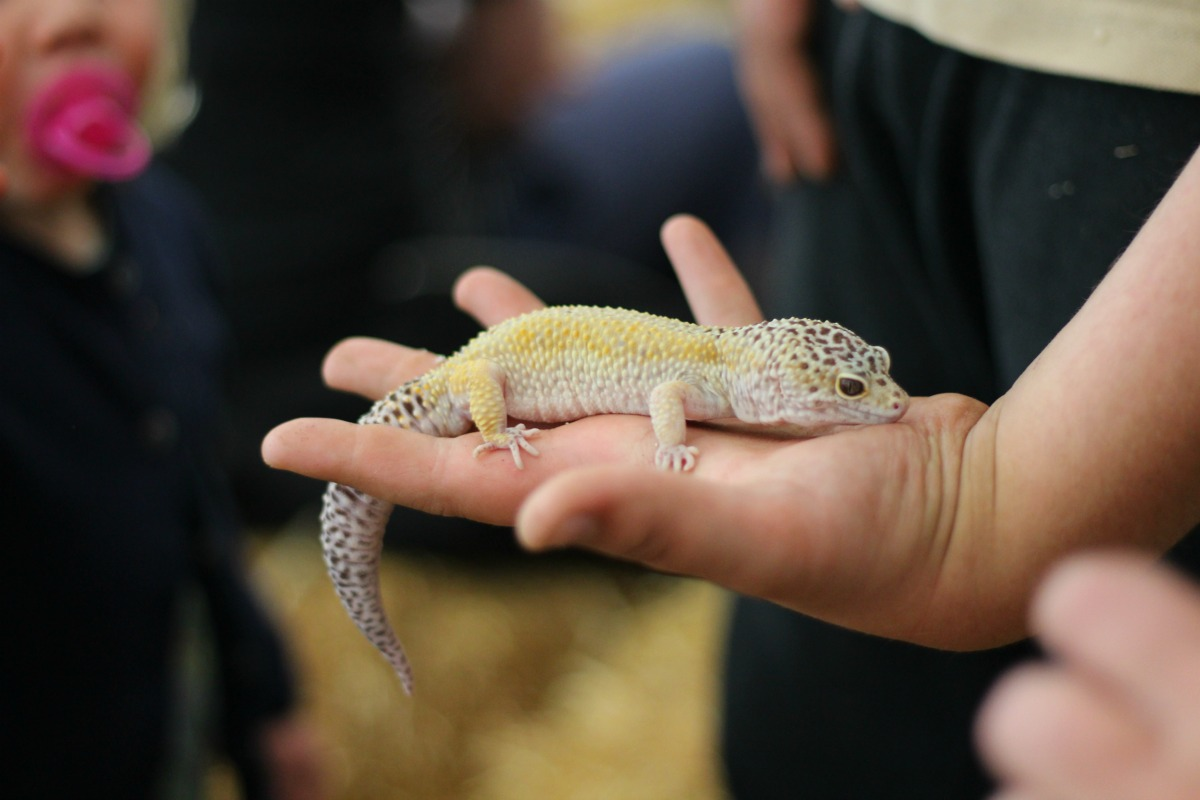 Gecko on show at Hounslow Urban Farm