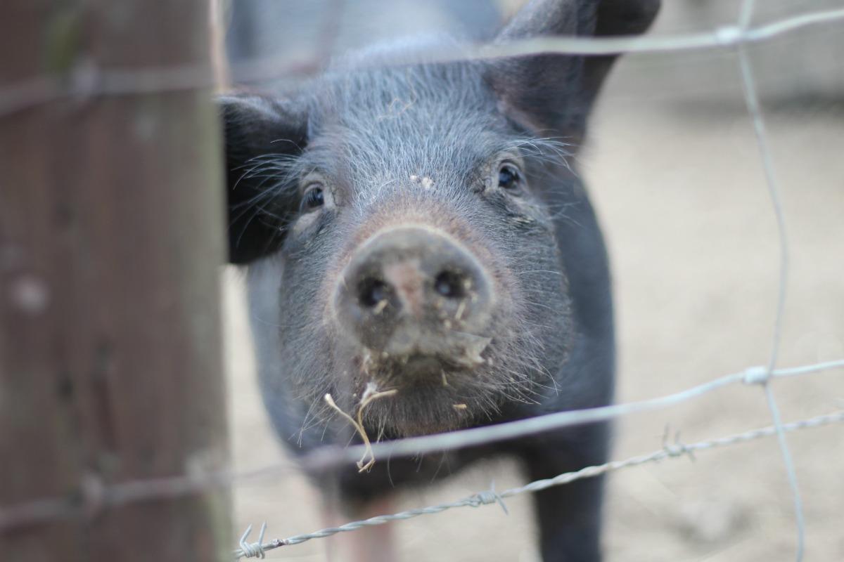 Piglet at Feltham Urban Farm