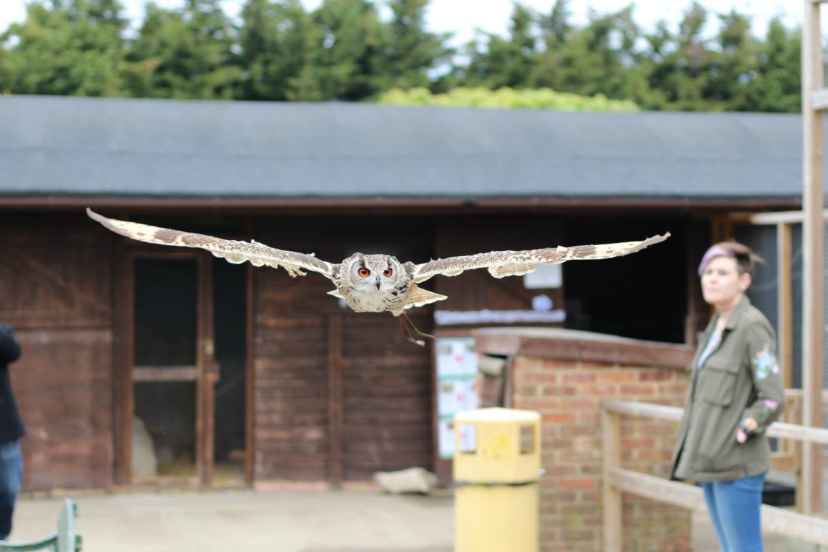 Flying owl at Hounslow Urban Farm